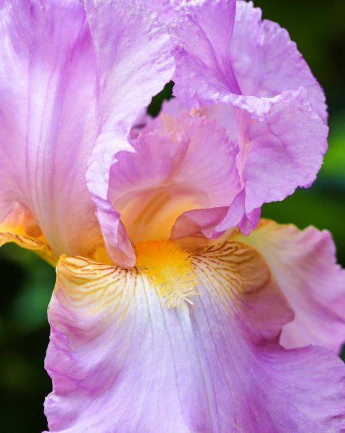 Colorful Spring Iris