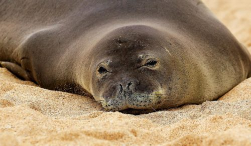 Female Hawaiian Monk Seal, Maui ~ © Lynne Simons Photography