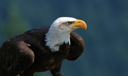 Majestic Bald Eagle - Grouse Mountain ~ North Vancouver, B.C. ~ © Lynne Simons Photography