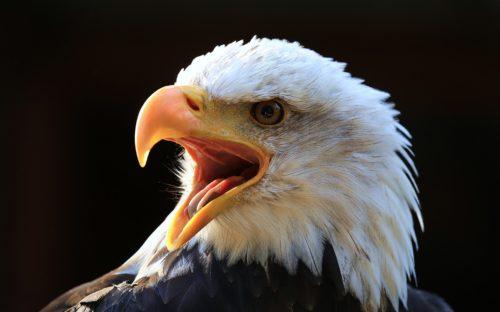 Bald Eagle, Vancouver Island B.C. ~ © Lynne Simons Photography