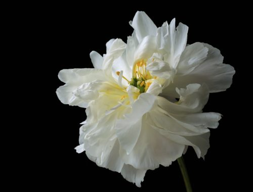 Windswept Magic~ A beautiful white Peony in Redmond, Washington ~ © Lynne Simons Photography