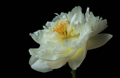 Into the Light~ A beautiful white Peony in Redmond, Washington ~ © Lynne Simons Photography