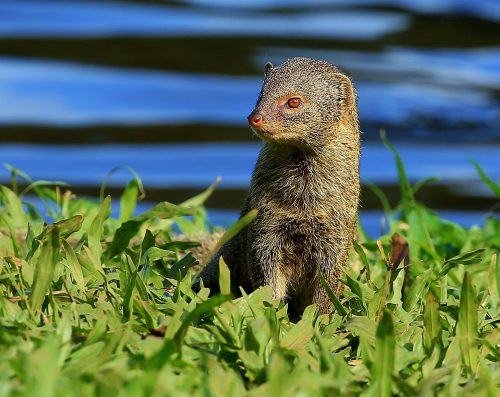 Hawaiian Mongoose ~Mongoose on alert in the green, Oahu, HI ~ © Lynne Simons Photography