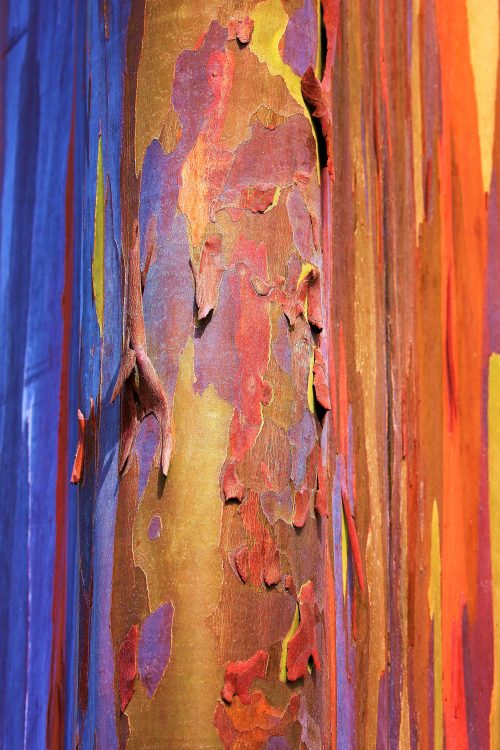 Rainbow Eucalyptus Magic~ Rainbow Eucalyptus in Maui, Hawaii ~ © Lynne Simons Photography