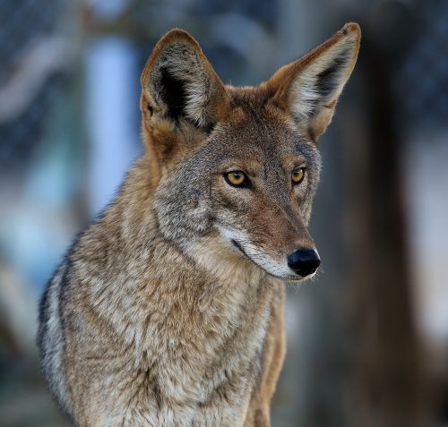 Intensity~ Coyote (Captive) Living Desert, Palm Desert, CA ~ © Lynne Simons Photography