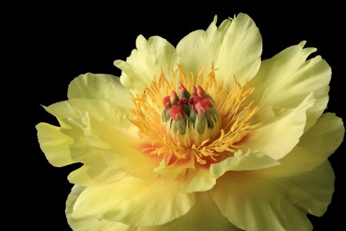 Sonya's Peony~ A beautiful yellow Peony in Redmond, Washington ~ © Lynne Simons Photography