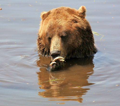 Dangerous Claws~ Grizzly (Brown) Bear claw grooming in the water in Grouse Mountain, BC ~ © Lynne Simons Photography