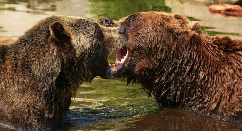 The Challenge ~ Grizzly (Brown) Bears playfully displaying dominance in Grouse Mountain, BC ~ © Lynne Simons Photography