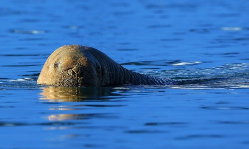 Silent Swimmer~ Walrus on the High Arctic ~ © Lynne Simons Photography