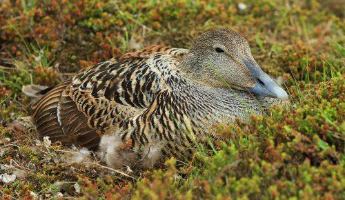 Eider Duck~ Nesting Elder Duck in Iceland ~ © Lynne Simons Photography