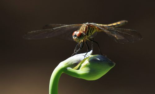 Perfect Landing~ Dragonfly on a flower bud, Bellevue, Washington ~ © Lynne Simons Photography