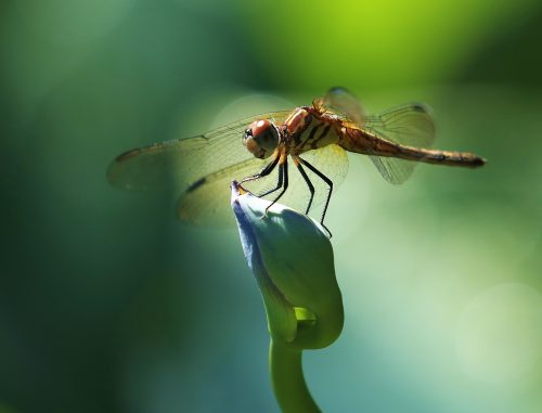 Dragonfly~ Dragonfly on a flower bud, Bellevue, Washington ~ © Lynne Simons Photography