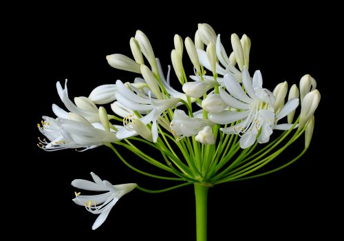 Reaching ~ White Agapanthus reaching toward the light Bellevue, WA ~ © Lynne Simons Photography
