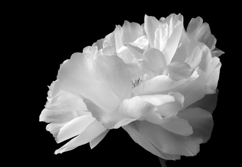 Play of Light~ White peony in Redmond, WA ~ © Lynne Simons Photography